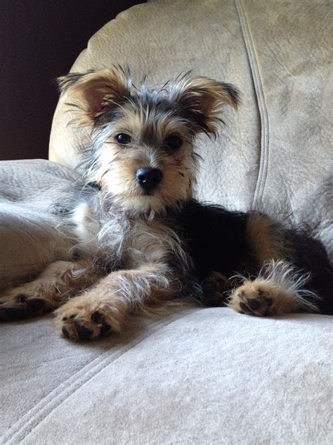 yorkie mixed with schnauzer snorkie yorkie and schnauzer mix i will one someday and name him baxter