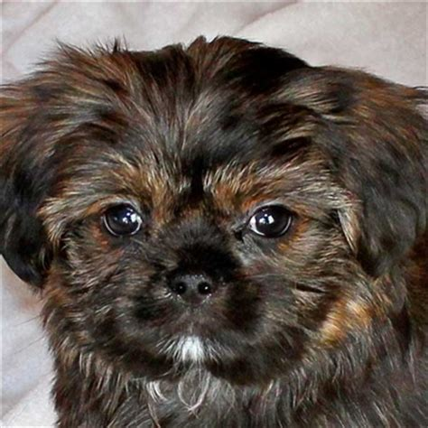 affordable shorkie puppies for sale happy healthy puppies for sale in boca raton florida auto design tech