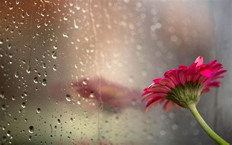 wallpaper rain pink pink flower on a background of a wet window wallpaper by