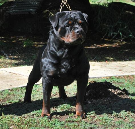 german purebred rottweiler ruelmann rottweilers inc german rottweiler puppies for sale rottweiler breeder