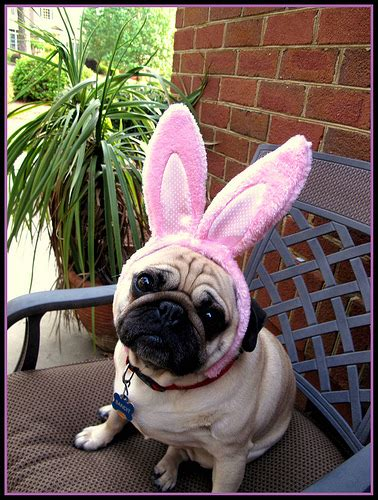 easter pug pictures easter pug flickr photo