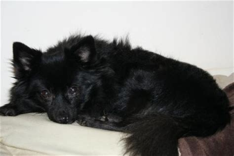 pomeranian schipperke mavis 13 year pomeranian cross schipperke for adoption