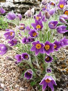 What Is The Alaska State Flower - pasque flower in the tundra galleryhip com the hippest