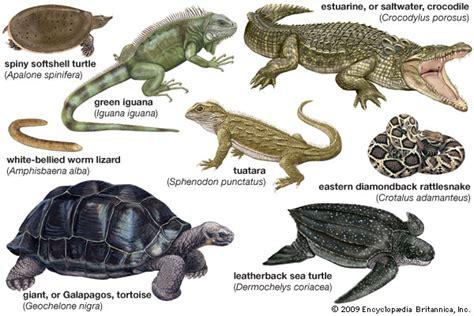 reptiles students britannica kids homework