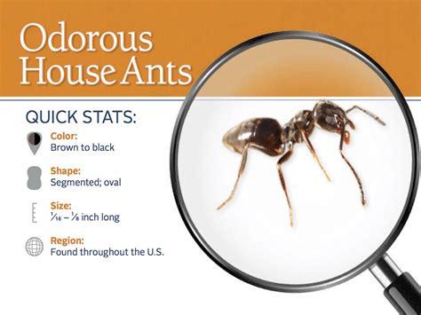 odorous house ants odorous house ants odorous ants pest control profile