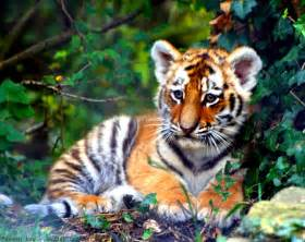 tiger colors brownish orange tiger colors photo 34705057 fanpop