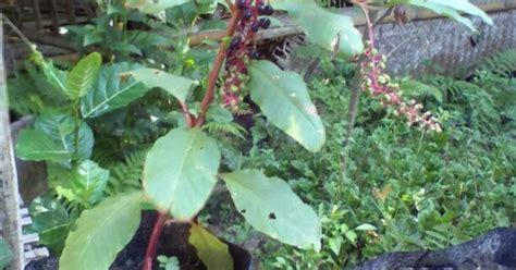 Jual Ginseng Merah jual bibit ginseng merah korea siap mlayani psanan sluruh