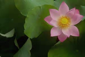 Uses Of Lotus Lotus Flower Meaning Pictures Blue White Lotus Flowers