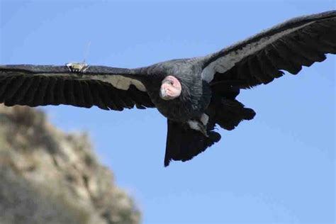 World All Animals: California Condor new photos