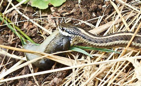 Garter Snake Eat Garter Snake Slug
