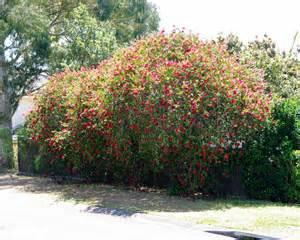 Gardensonline callistemon viminalis