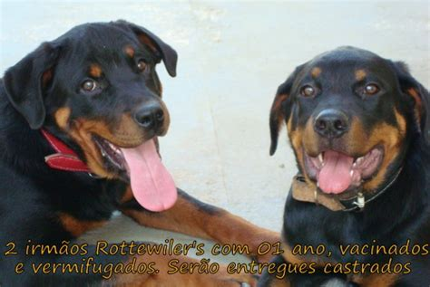 Mestico De Dogue Alemao Urgente From The Adoptable Pets Photo Pool You Are A by Wp Images Rottweiler Post 13