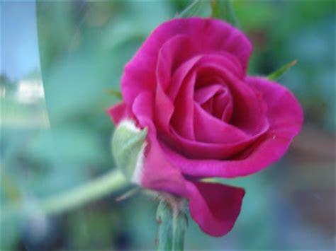 Bunga Mawar Artificial 19 pokok ros jepun related keywords pokok ros jepun