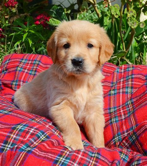 list of purebred dogs golden retriever slide show breeds picture