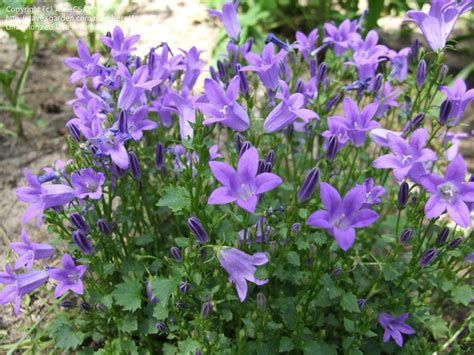 What Garden Zone Am I In By Zip Code - plantfiles pictures campanula dalmation bellflower wall bellflower adria bellflower get mee