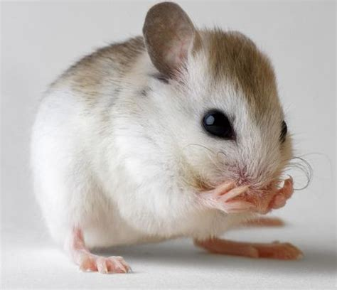 imagenes de gatas blancas mus musculus homo sapiens mus sapiens 191 un rat 243 n humano