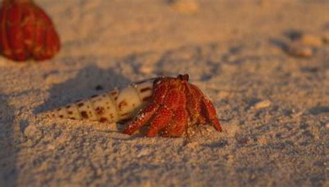 do hermit crabs need a heat l what does crabs feel like
