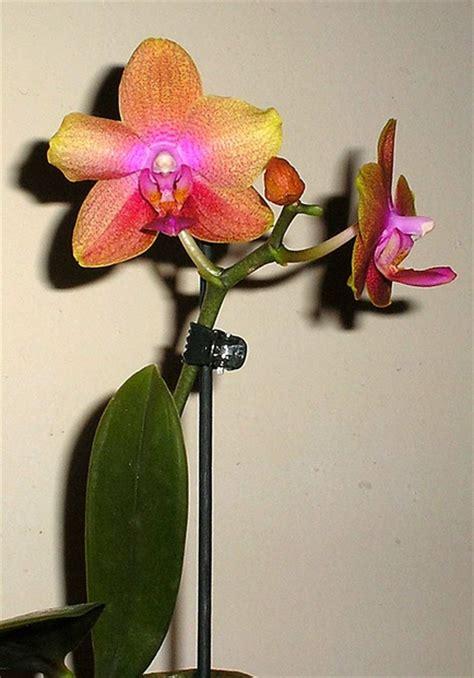 Wie Pflegt Eine Orchidee 4794 by Mini Orchidee Wie Pflegen