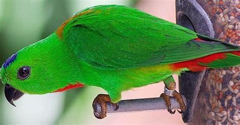 Tempat Pakan Burung Unik burung serindit yang lucu unik dan memikat info burung