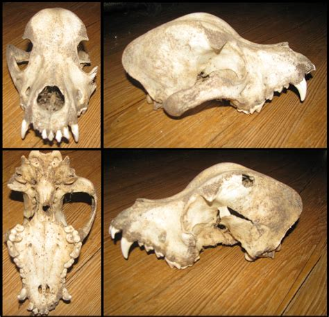 rottweiler skull rottweiler skull reduced need to sell by creepily on deviantart