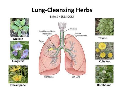 5 Herbs To Detox Lungs by The Respiratory System Is A Vital Part Of The Human