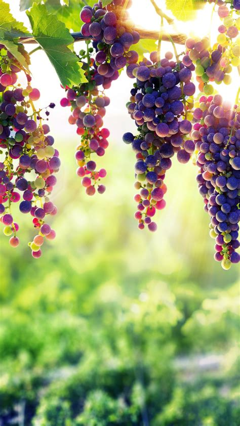 wallpaper grapes  food  page