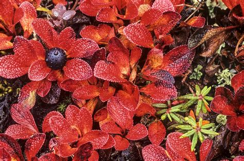 C029 Black black bearberry arctostaphylos alpina stock image c029