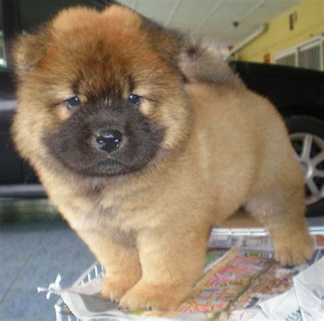 chow chow puppies for sale california chow chow puppiy chow chow dogs chow puppies chow chow dogs and