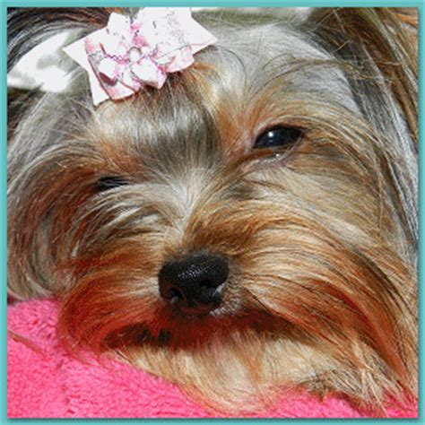 yorkie puppies for sale in ny akc yorkie breeder ny terrier breeder yorkie puppies for sale ny