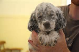 llewellin setter dog breeders adorable llewellin setter puppy leica available