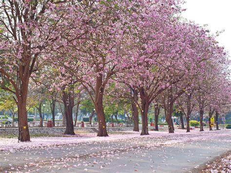 pink trumpet trees louie s nursery riverside ca louie s