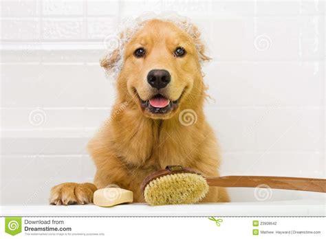 golden retriever bath golden retriever taking a bath stock photography image 23908642
