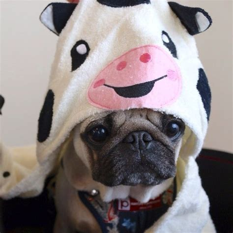 im a pug 148 best images about pugs on posts pajama and tartan