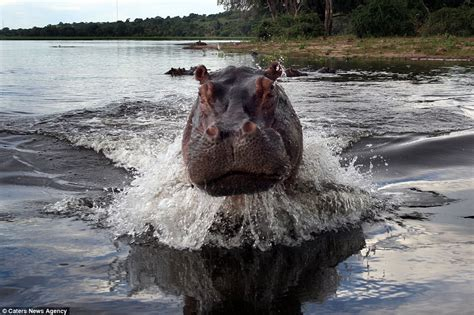 big hippo chasing boat forget hungry hippos it s angry hippos you need to watch