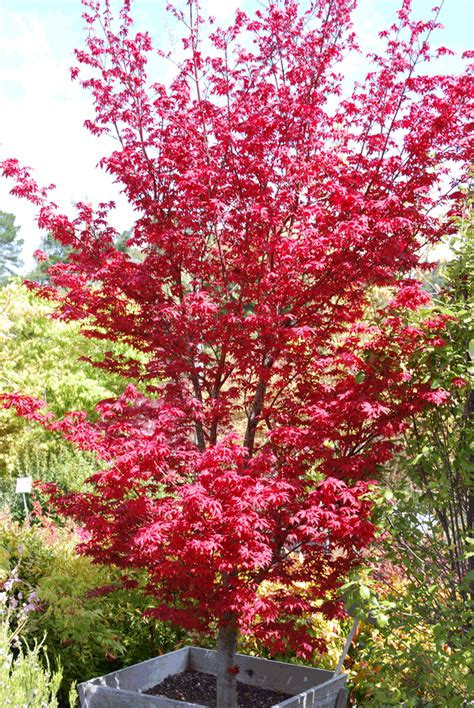 japanese maple varieties gallery