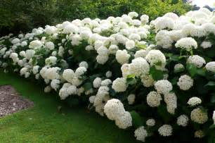 hydrangea beauty of the garden flower home
