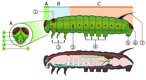 caterpillar diagram insect mandible diagram insect free engine image for