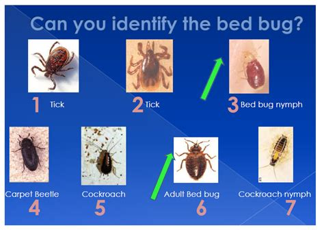 can you see bed bugs how to identify bed bugs bed bugs northwest