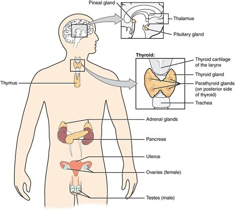 definition of pictorial diagram endocrine system definition function organs diseases