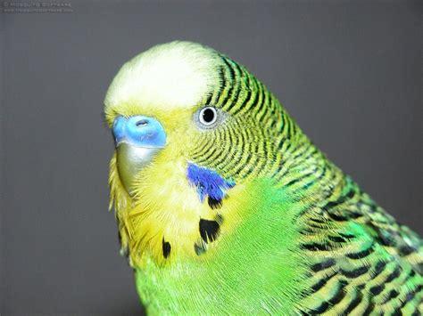 budgie information budgerigar info babby bugerigar nest budgie breeding parakeet eggs