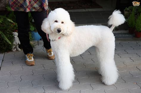 poodle lifespan standard standard poodle breed information buying advice