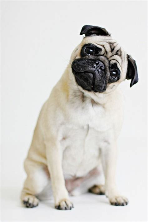 pugs tilt pug how i it when they tilt their listening to your voice pugmania