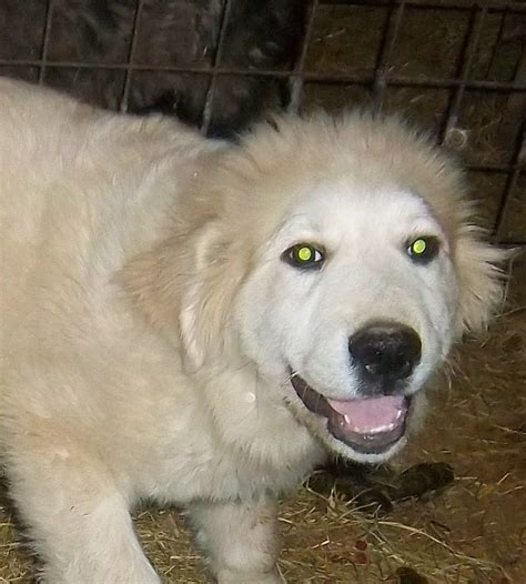 great pyrenees puppies for sale in ohio great pyrenees puppies for sale in ohio breeds picture