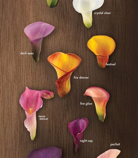 calla lilies colors best 25 calla colors ideas on calla