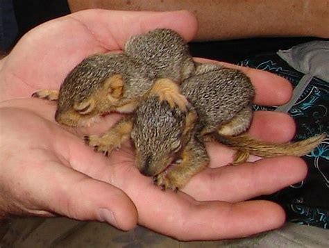 how to a for squirrel squirrel rescue squirrel pictures and squirrel from the rainbow wildlife rescue