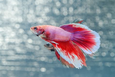 how long do betta fish usually live