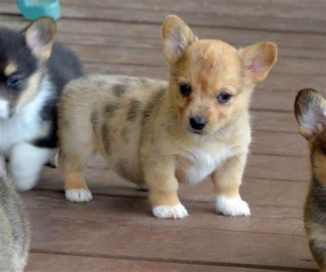corgi puppies virginia view ad pembroke corgi puppy for sale virginia spotsylvania usa