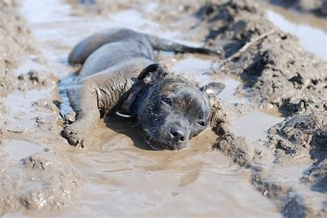 mud puppies mud puppy dogs