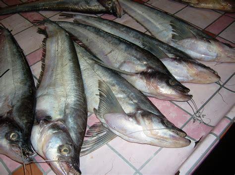Ikan Asin Pepuyu ikan lokal hidup di kalsel kabar paman anum