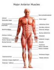 muscle archives page 34 of 36 human anatomy chart